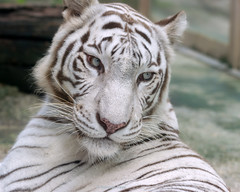 Kara  - Curiosity (Harimau Kayu (AKA Sumatra-Tiger)) Tags: kara tiger zoo animal bigcat bigcats feline bengaltiger pantheratigristigris knigstiger indischertiger eltigredebengala tigredubengale latigrerealedelbengala   whitetiger weisertiger tigreblanco tigreblancroyal   zooshot tobu tobuzoo snowwhite mirrormirror mutti mutter muttivonvierkindern frhlingserwachen springawakening monday