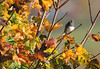 Rainbow Tree (Glenda Hall) Tags: junco bird wildbird gardenbird canada autumn october 2015 maple tree leaves autumncolours georgetown ontario canon canon60d sigma sigma150500 500mm sunlight colours rainbowtree branches cutejunco glendahall holiday thefall gimp zoom
