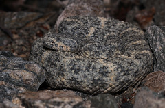 Speckled Rattlesnake (DevinBergquist) Tags: speckledrattlesnake rattlesnake insitu crotalus crotaluspyrrhus crotalusmitchellii herping fieldherping snake hiking az arizona wildlife nature