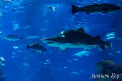 Carcharias taurus (1) (AquariumBlog.es) Tags: acuario aquarium peces fish pez marino saltwater water freshwater dulce agua corales payaso clown sepia acantharus pterois pomacanthus barcelona arrecife reef