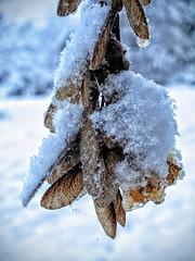 Winter Samara (FloHimself) Tags: canon powershot g10 canonpowershotg10 lüneburg