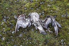 Life and Death (David Badke) Tags: colwood bc bird dead death corpse moss