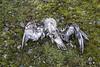Life and Death (David Badke) Tags: colwood bc bird dead death corpse moss