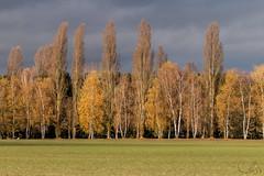 Vent d' automne (JiJi-aime) Tags: vent arbres feuillage couleur ciel menaçant peuplier petite camargue alsacienne