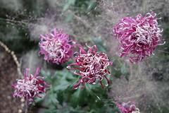 Mum Explosion! (Anne Marie Clarke) Tags: kiku chrysanthemums mums flowers enidahaupt greenhouse flowershow newyorkbotanicalgarden bronx nyc spidermums