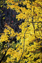 Brian_Yellow Leaves 1_110816_2D (starg82343) Tags: