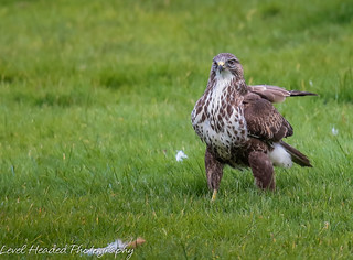 Buzzard (Buteo buteo) looking for a fight