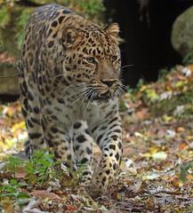 amurleopard JN6A7259 (j.a.kok) Tags: panter panther pantherapardusorientalis amoerpanter amurleopard amurpanther blijdorp mammal zoogdier predator asia azie roofdier