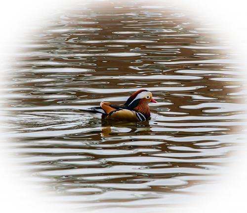 Mandarin Duck at Gresford pond, north Wales