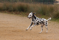 Dog-0888 (Kulama) Tags: dog animals nature walk autumn autumncolours canon7d sigma150600c563