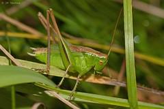 Bicolorana (Metrioptera) bicolor (jp vacher) Tags: orthoptera bicolorana metrioptera bicolor ensifera tettigoniidae grasshopper