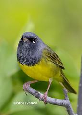 MacGillivray's warbler (Stoil Ivanov) Tags: macgillivrayswarbler geothlypistolmiei grandtetonnationalpark moosewilsonroad