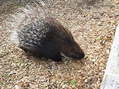 DSCN6516 (Ronae2987) Tags: stachelschwein zoo tier porcupine