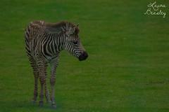 Just a little horse (Miss Basil85) Tags: nz newzealand northisland waikato hamilton hamiltonzoo zoo zebra stripy horse wildlife nikon d3200