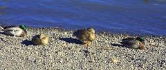 Mallards Snoozing (swong95765) Tags: birds ducks mallard animal beach river water snooze sleep