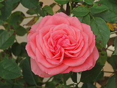 DSC00840 (gregnboutz) Tags: flower flowers bloomingflower bloomingflowers brightflowers colorfulflower colorfulflowers colorfulmacro colorfulmacros macro macros macroflower macroflowers macrorose macroroses colorfulrose colorfulroses pink pinkflower pinkflowers pinkrose pinkroses