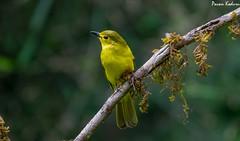 Yellow browed Bulbul (pavankoduru) Tags: bulbul perch burd nature yello green colors birding bokeh crisp