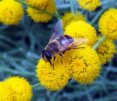 Abeja. (jagar41_ Juan Antonio) Tags: insectos insecto abejas abeja
