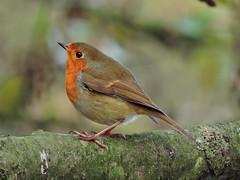 Robin (PhotoLoonie) Tags: britishbird wildbird gardenbird ukgardenbird bird ukbird nature britishwildlife wildlife gardenwildlife robin