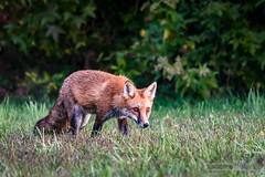 Focused on Food (Jon Wittman Photography) Tags: os sigma outdoor processing seasons wildlife bigma 150500mm animals maryland software lr apo baltimorecomd fox nikon lens md redfox baltimorecounty dx trees jonwittmanphotography d7100 phototerms f563 scenic cameras essex jpwphotography hsm places lightroom fall
