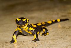 Salamandre (Kaya.paca) Tags: salamandre salamandra salamander amphibien anfibio amphibian nature animal portrait outdoor extrieur pluie lluvia automne hautesalpes france canon bokeh eyes colors noirjaune reptile