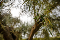 El Olivo (amofer83) Tags: olivo rbol angular irix 15 mm exterior bokeh detalle naturaleza