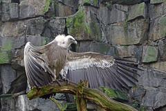 Tierpark Berlin (Foto Hardy) Tags: berlin tierpark tiere animals geier