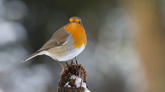 Robin (wimzilver) Tags: robin roodborstje bird tood red snow winter archief canonef400mmf56lusm canoneos7d