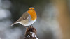 Robin (Wim Boon (wimzilver)) Tags: robin roodborstje bird tood red snow winter archief canonef400mmf56lusm canoneos7d