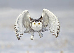 Ibird Canada (Peter Stahl Photography) Tags: snowowl owl snowy winter snow ibirdcanada canada ibird