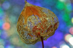 Colorful (Michael Schnborn) Tags: nx3000 nx50200f456 samsung flower plant colorful bokeh macro lampionblume closeup structure nature art