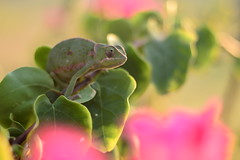 (Leela Channer) Tags: chameleon reptile lizard nature animal creature bougainvillea sunrise dawn light goldenhour closeup flapnecked female green leaves pink flowers coast kenya africa mombasa beach bush plant
