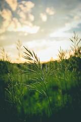 Golden Grass (mattbigwoods) Tags: cornfield plants tall bokeh outdoors nature spring green grass hour golden