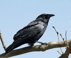 Crow from the back (v4vodka) Tags: bird birding birdwatching animal nature wildlife crow americancrow corvid corvusbrachyrhynchos wrona wronaamerykanska longisland newyork