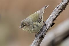 Weebill 2016-11-26 (60D_5378) (ajhaysom) Tags: weebill smicrornisbrevirostris woodlandshistoricpark greenvale melbourne australia australianbirds canoneos60d sigma150600