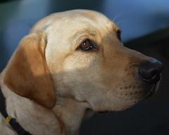 Wilbur 15 months (Sharron Burns) Tags: guidedogpuppy goldenlab yellowlab labrador portrait dog animal canine
