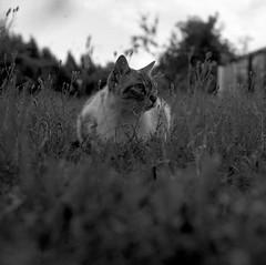 La reine de la savane (adelinemoi) Tags: mediumformat 120mm yashica tmax400 kodak keepfilmalive analog analogphotography analogvibes analogico animals cat blackandwhite portrait film filmcommunity filmisnotdead ishootfilm theanalogueproject disparaencarrete