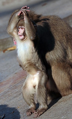 japanese macaque artis JN6A0803 (j.a.kok) Tags: macaque japanesemacaque japansemakaak makaak macaca artis artiszoo aap monkey primaat primate