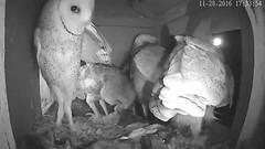 11.28.2016_1734_Full House (Birder23) Tags: porching barnowls barnowlets barnowltreenestporch rat didi jasper beau