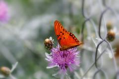Life on a Fence   -   Vida en un cerco (Carlos... (limited activity / actividad limitada)) Tags: fence cerco home casa closeup acercamiento butterfly mariposa flower flor canon dslr 5dmk3