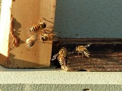Incoming (alansurfin) Tags: honeybees bees abeilles abejas bienen apismellifera apis apicultura beekeeping beehive