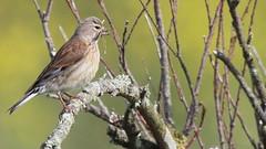 Linotte mlodieuse, Af (R, 2014-05-04_30) (th_franc) Tags: oiseau linottemlodieuse