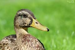Entengru zum Wochenende (Anja van Zijl) Tags: park nature animal duck natur natuur ente dier eend tier stadtpark stockente wildeeend