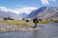 Bloated (Sid's Corner) Tags: travel india mountains nature beautiful landscape landscapes paradise donkey adventure leh ladakh nubravalley bloated nationalgeographic heavenonearth hunder northindia tripofalifetime nubra diskit incredibleindia natureaddict