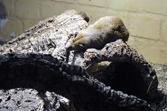 Zoo Zajac in Duisburg (NRW/Deutschland) (borntobewild1946) Tags: tiere nrw sleepyhead duisburg ruhrgebiet nordrheinwestfalen zajac fuchsmanguste vielfalt zoofachgeschft copyrightbyberndloosborntobewild1946 weltgrsteszoofachgeschft zoozajacduisburg
