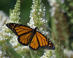 Butterfly Ice Cream (KsCattails) Tags: orange white black flower macro nature butterfly nikon buddleia blossom bokeh outdoor monarch kansas butterflybush overlandparkarboretum nectaring d7000 kscattails