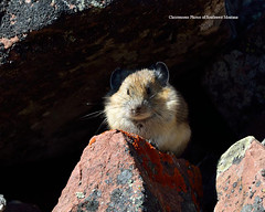 Out of the Shadows (Photos of Southwest Montana) Tags: autumn summer rabbit bunny fall nature rock hare wildlife pika nikontamron bradchristensen dillonbeaverheadbeaverheaddeerlodgenationalforest photosofsouthwestmontana