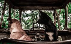 ¿Y ahora a dónde vamos? (julietacarrillo8) Tags: tractor verde ir arbol arboles camino pareja buenos aires perro cachorro canino perros dupla madre