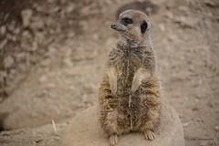 Meerkat (Tom_Edwards05) Tags: park lake animal meerkat district wildlife