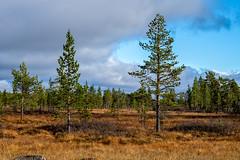 Pines (Mild Delirium) Tags: autumn pine forest suomi finland outdoor lapland fi scandinavia lappi biketouring spmi xf56mmf12r xf56mm fujinonxf56mmf12r fujifilmxt10